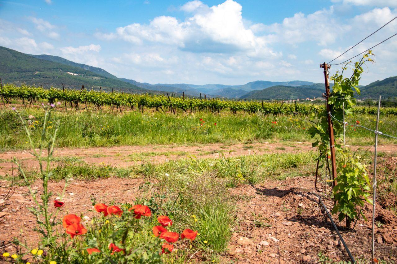 In het dal van de Orb tref je veel wijngaarden aan.